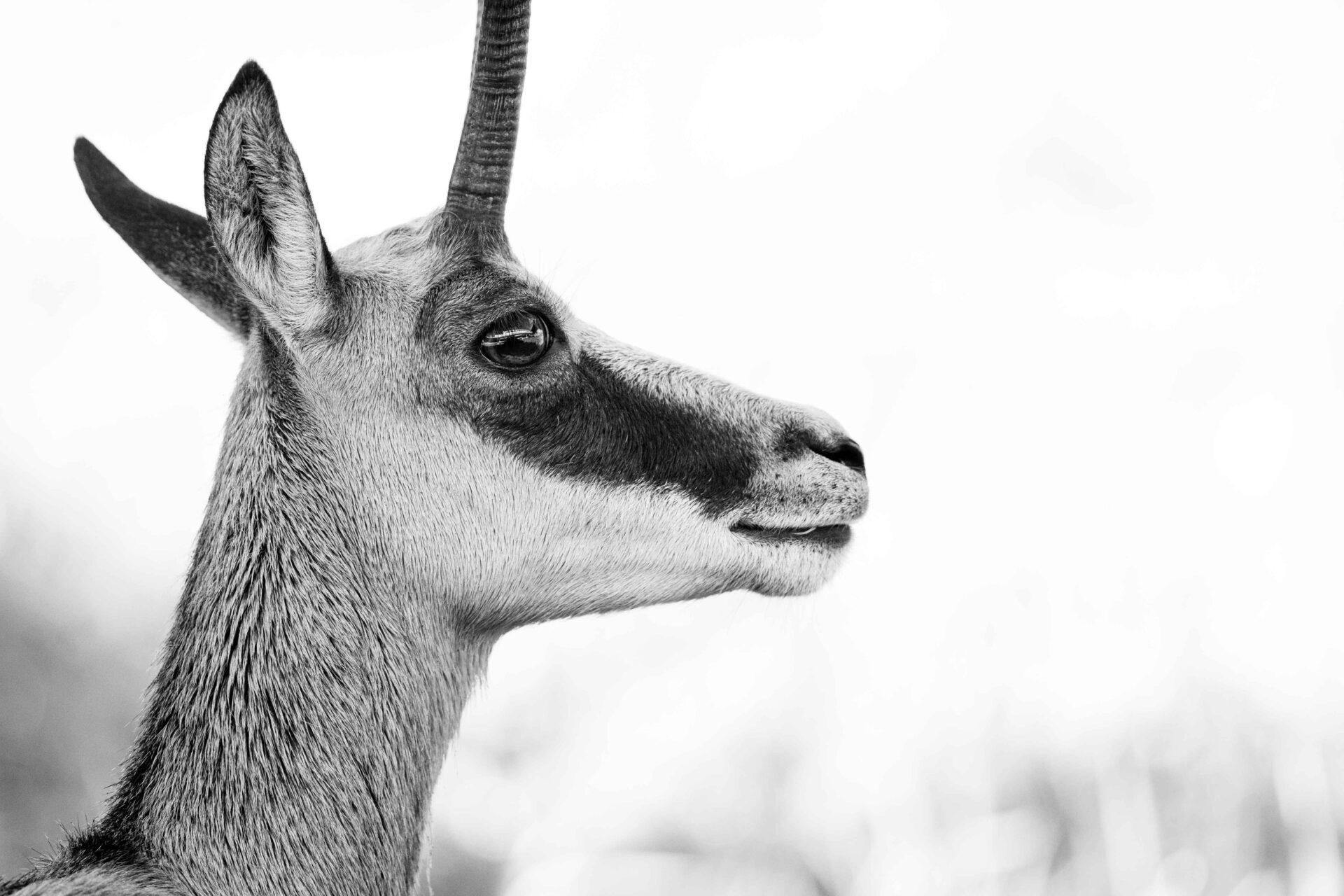 Gämse_Tierbilder_Tiere_Fotografie_Tierfotografie_3
