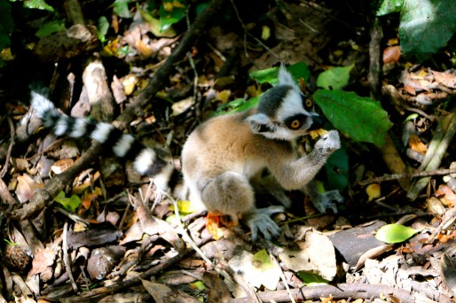 and King Julian, a Lemur