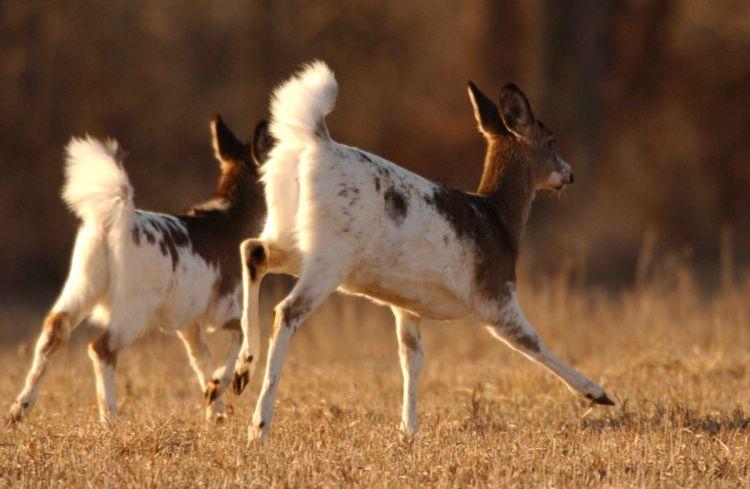 Piebald White Tailed Deer for Website