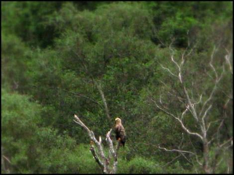 White-tailed sea eagle, Laggan Bay