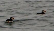 Atlantic puffins, Staffa
