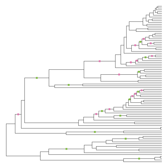 """Phylogeny of whales, forced to be ultrametric via the """"node adjustment"""" method. 27 branches have changed length, with about half becoming longer and half becoming shorter, in different parts of the tree."""