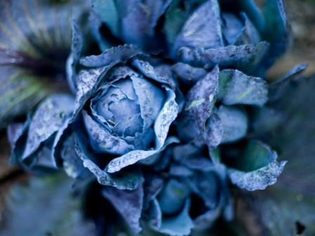 Cabbage Three by St. Louis Photographer Jonathan Gayman