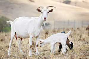 Goat kids will stay with their mother until th...