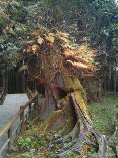 Alishan - trunk