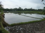 Balinese rice terraces - scenery 1