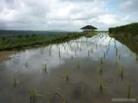 Balinese rice terraces - scenery 15