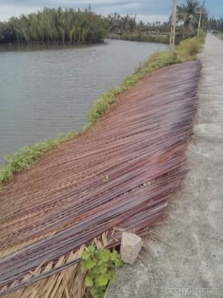 Hoi An - biking dried trees