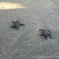 Kuta Bali - baby turtles 3