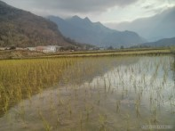Mai Chau - rice fields 11