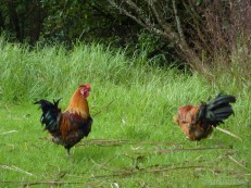 NZ North Island - wild rooster