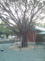 Tainan - supported tree 1