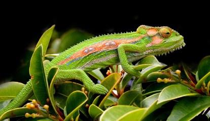 Green Chameleon copies