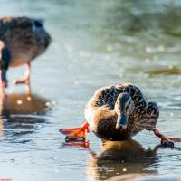 Happy New Year, Merry Christmas, here's Ducks Dancing on Ice