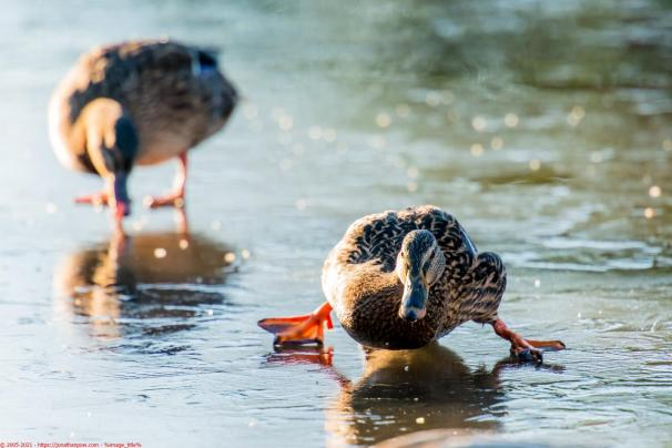 Weather - Ducks struggling on an ice covered pond in Ferrensby (near Knaresborough), North Yorkshire