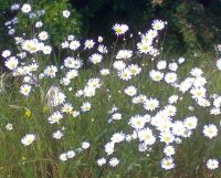 Daisies on Tooting Common, where history is made