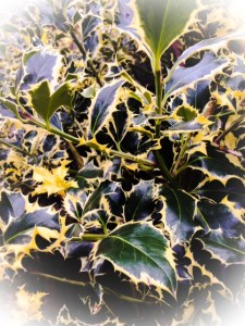 Holly from my garden in Tooting