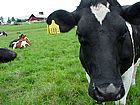 black-and-white-cow-3