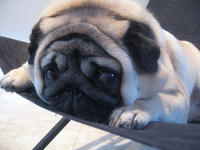 Pug Mugs: Miami Considers Dangerous Dog Registry and
