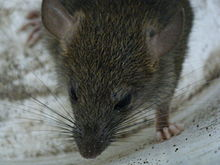 220px-Rat_in_a_suburban_Vancouver_driveway