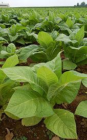 170px-Nicotiana_Tobacco_Plants_1909px