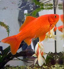 220px-Goldfish3