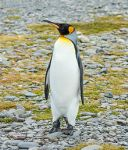 SGI-2016-South_Georgia_(Fortuna_Bay)–King_penguin_(Aptenodytes_patagonicus)_04
