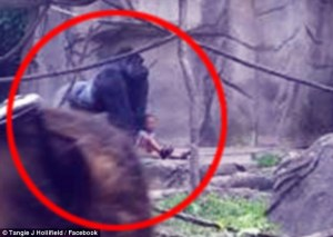 34BF5B5D00000578-3615783-Some_said_Harambe_appeared_to_be_guarding_and_defending_the_boy_-a-9_1464591377443