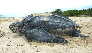 Leatherback_sea_turtle_Tinglar,_USVI_(5839996547)