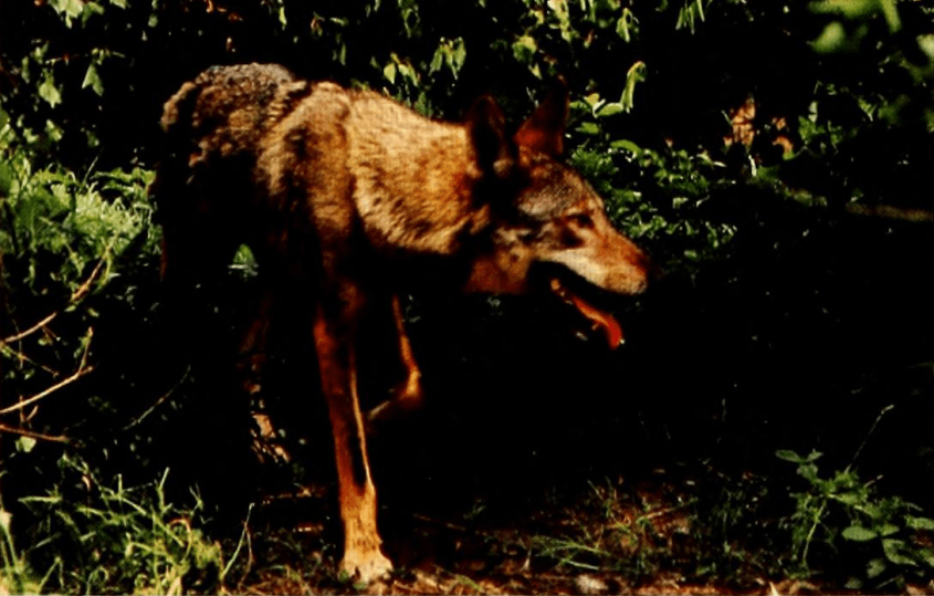 Red_Wolf_(1980)