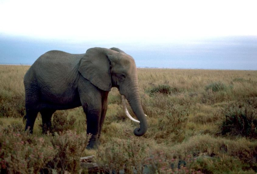 African_elephant_male