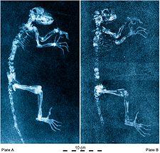 225px-Darwinius_radiographs