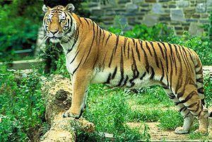 300px-Panthera_tigris_tigris