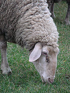 140px-German_ewe_grazing_closeup