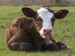 250px-New_Forest_calf