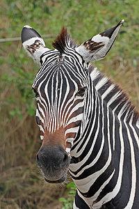 200px-Zebra_portrait