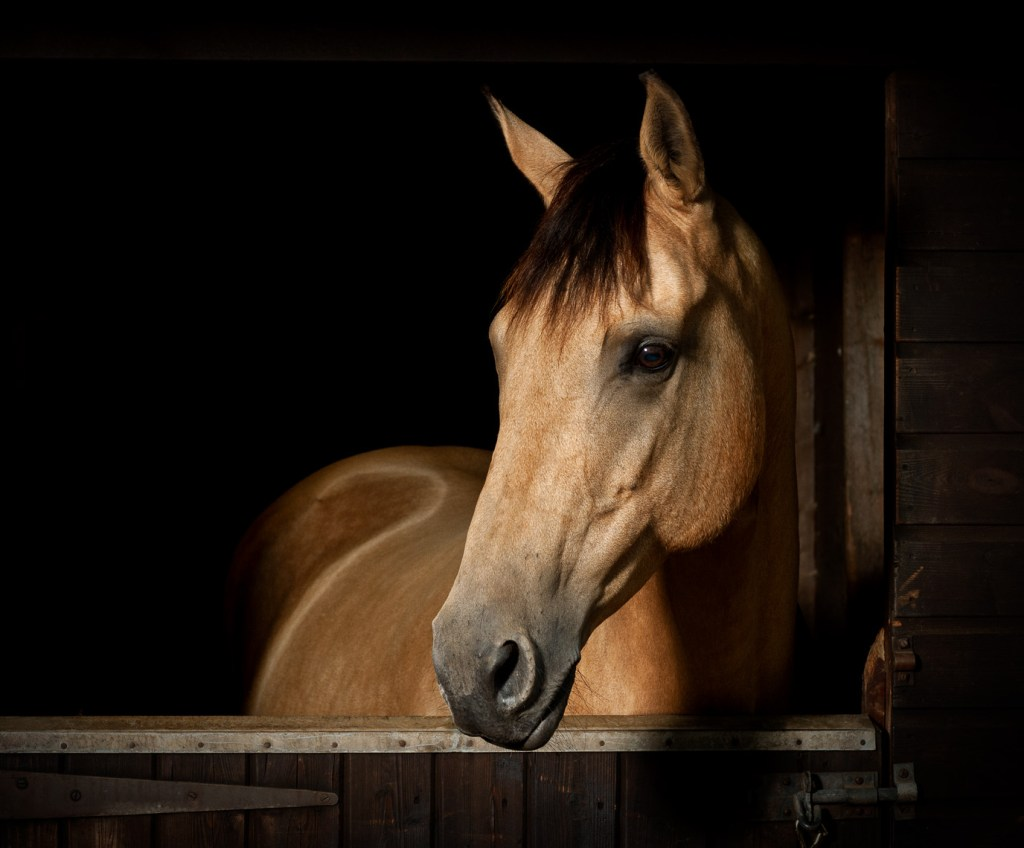 Dun coloured horse looking over a stable door