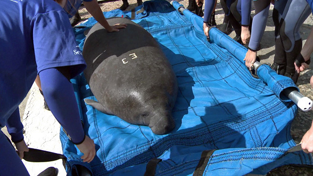 Orphaned Manatee Calf Starts Her New Life in the Wild as SeaWorld's Rescue, Rehabilitation and Return Program Comes Full Circle for Blanche the Manatee