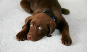 Sad Dog - Walterboro South Carolina Carpet Care and Vacuum Experts - Jones Vacuum Center