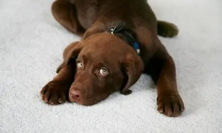 Surefire Tips for Getting Pet Stains Out of Carpet