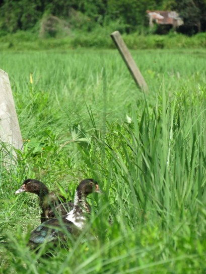 Ducks. Why do they cross the paddy field?