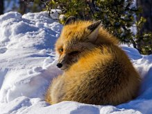 Red Fox, Trapper's Lake