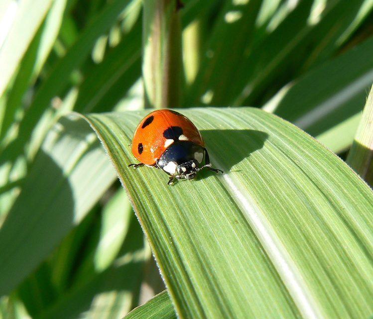 ladybug in a garden