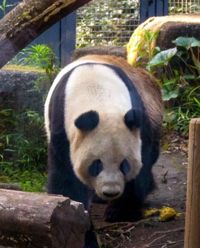 panda_1