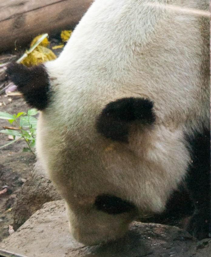 panda_4