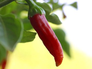 PD -Chili_chillies_peppers