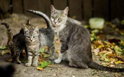 La gestion des chats libres sur le village