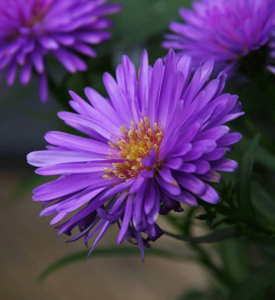 Free photo  Flower of Aster   Flower  Aster   Free Download   Jooinn Flower of Aster