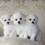 Free Photo Bichon Frise Puppy Animal Cute Dog Free Download Jooinn