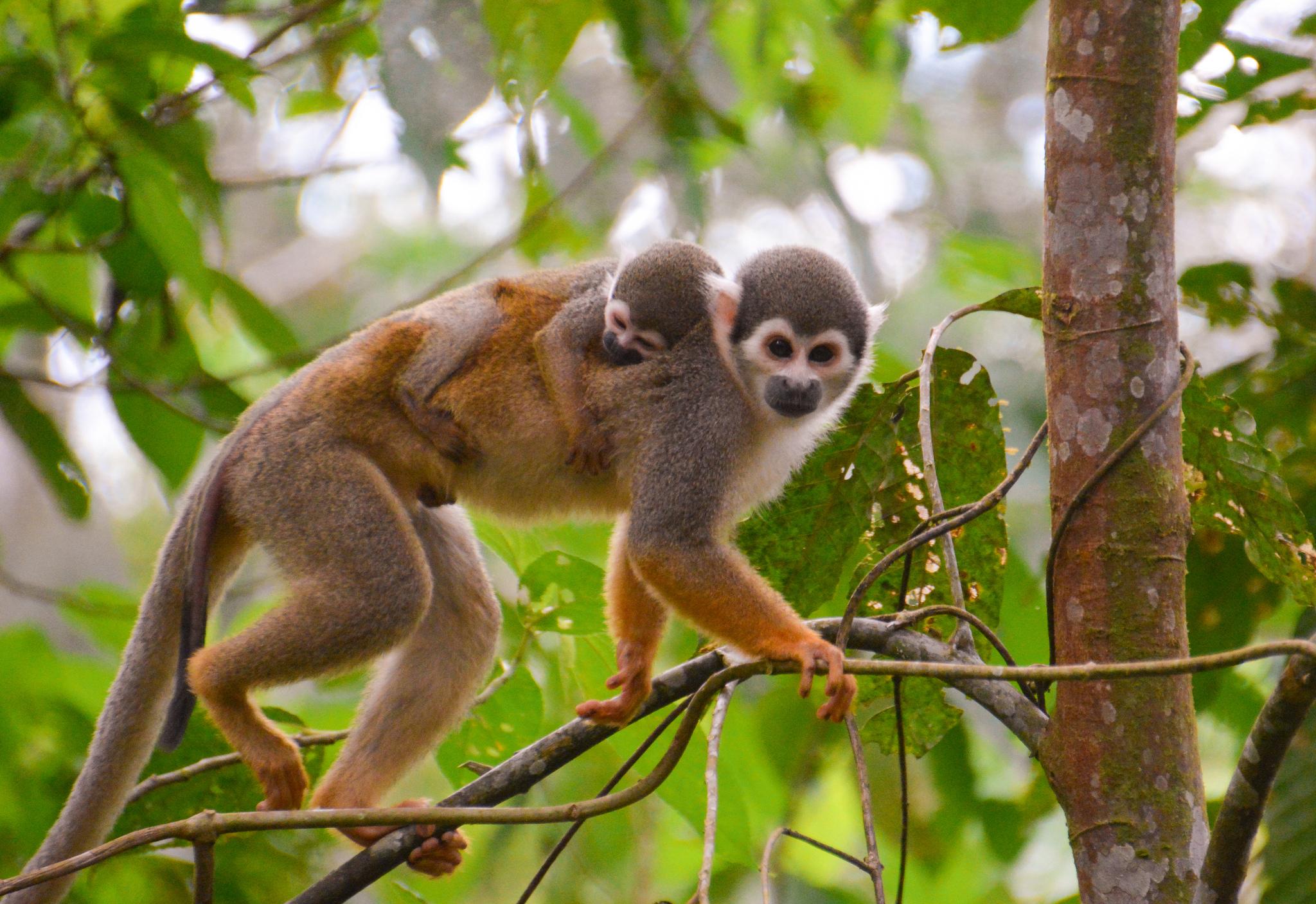 Free Photo Brown Monkey Photo
